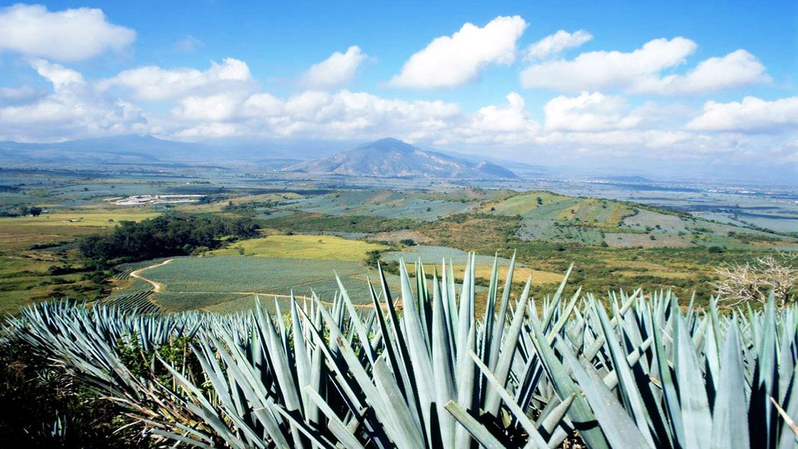 Row of agave with fields and mountains in the distance