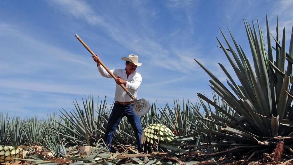 Cargar foto 5 de 5. Man harvesting agave in a field