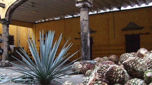 Agave plants at Camp Agavero tequila factory