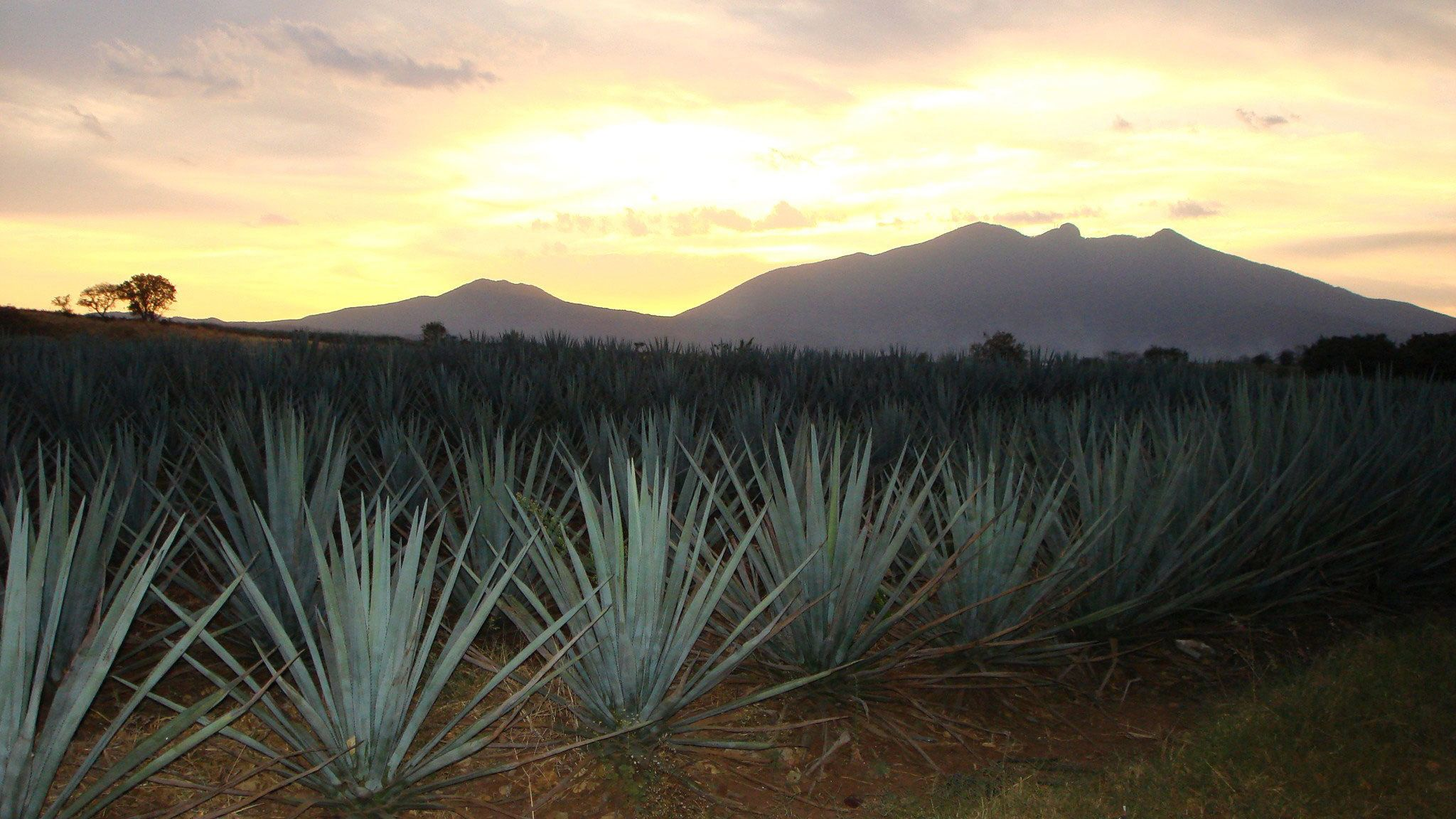 Sunset over an agave field