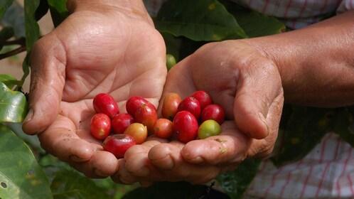 Freshly picked red coffee cherries