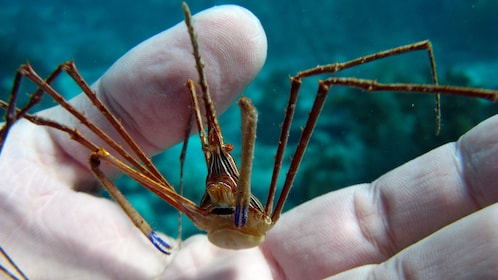 Small crab within the hands of a diver