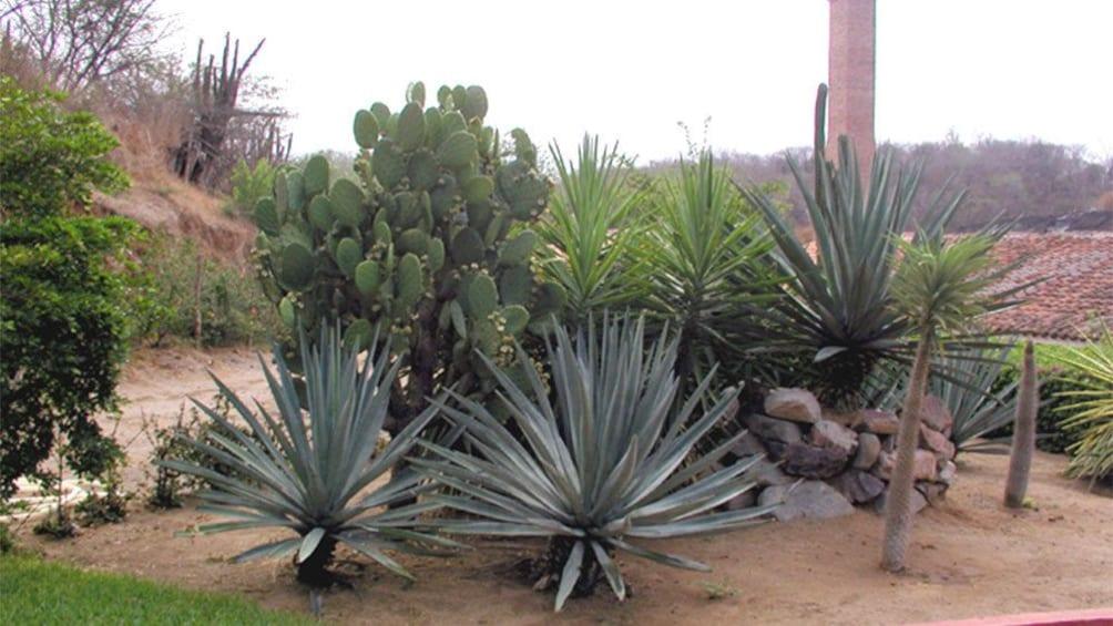 Agave plants at La Vinata Tequila Distillery