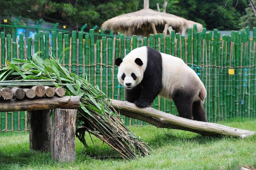 Show item 5 of 10. Summer Palace, Lama Temple & Giant Panda Encounter Day Tour