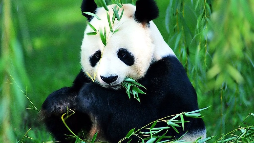 Show item 2 of 5. Panda grazing on bamboo leaves in China
