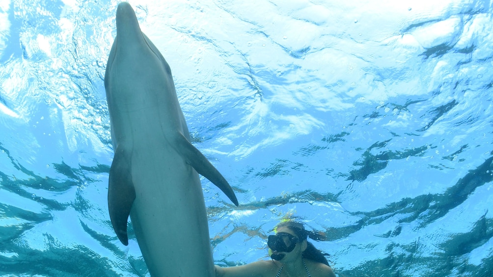 Foto 3 von 8 laden Woman snorkels with dolphin at Dolphin Academy Curacao