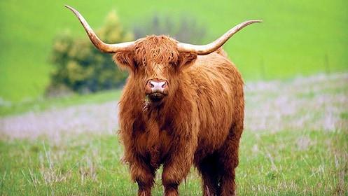 highland cattle in edinburgh
