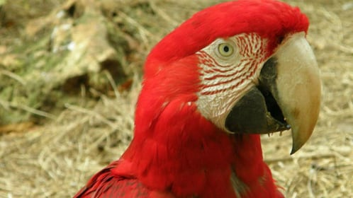 Red parrot in barbados