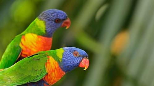 brightly colored birds in barbados