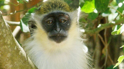 monkey in a tree in barbados