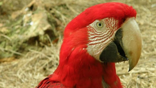 Red macaw parrot in Barbados