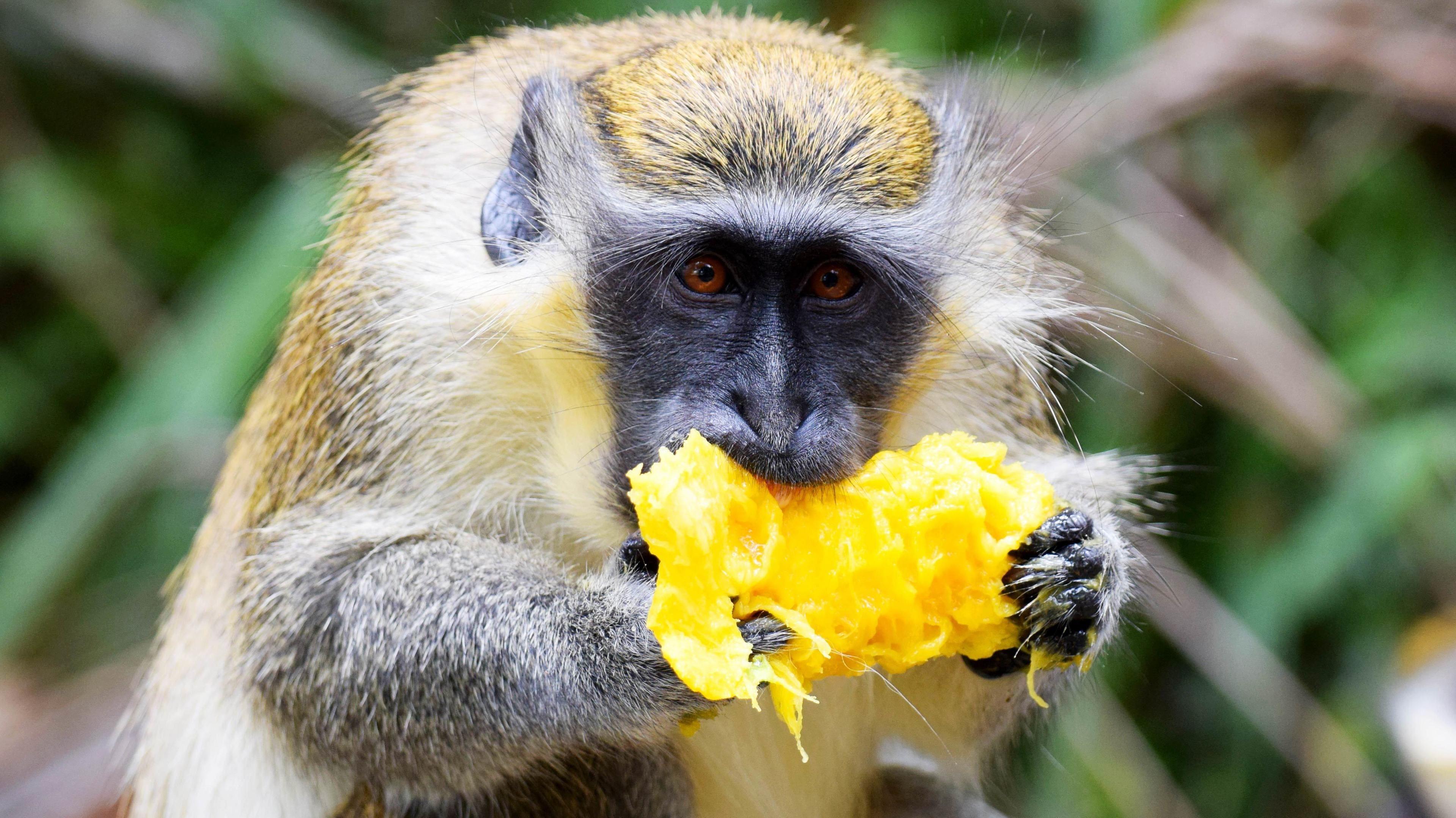 Black faced monkey eating a mango
