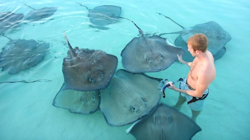 A group of stingrays swarming in Grand Cayman