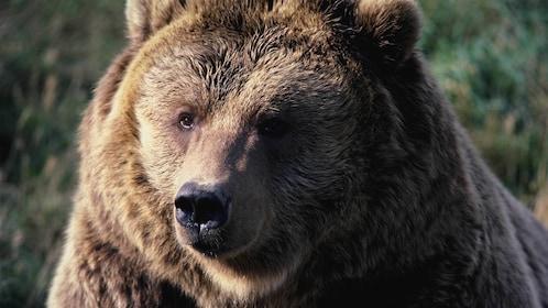 Close image of a bear at Grand Teton National Park