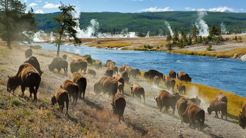 Herd of animals at Yellowstone National Park
