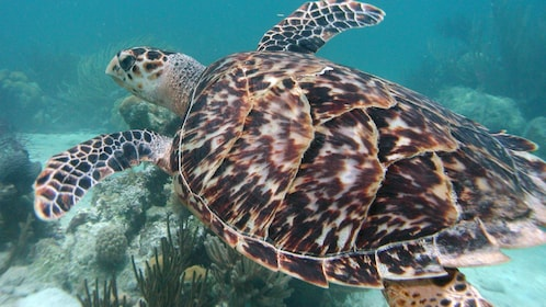 Sea turtle swimming along the reefs of the Turks and Caicos Islands