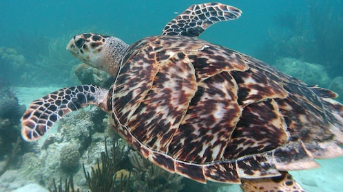 Sea turtle swimming among the coral reefs of the Caribbean