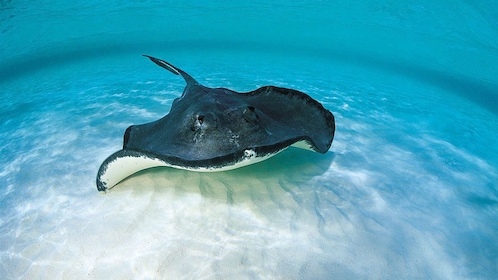Sea ray swimming at the bottom of the ocean floor near the Turks and Caicos islands
