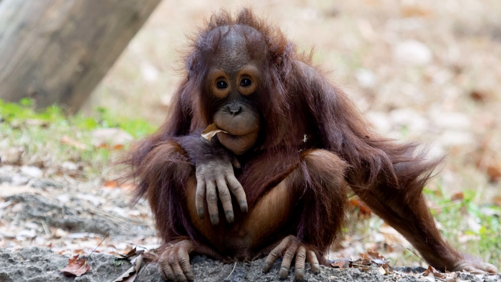 Atlanta CityPASS: Orangutan baby at Atlanta Zoo