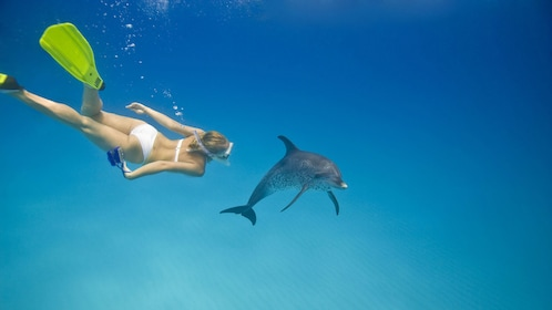 Snorkeling woman diving in the water near a dolphin in St Kitts