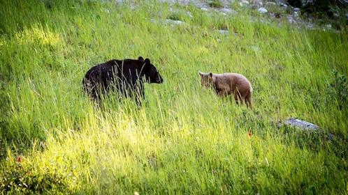 Bears in field in Whistler