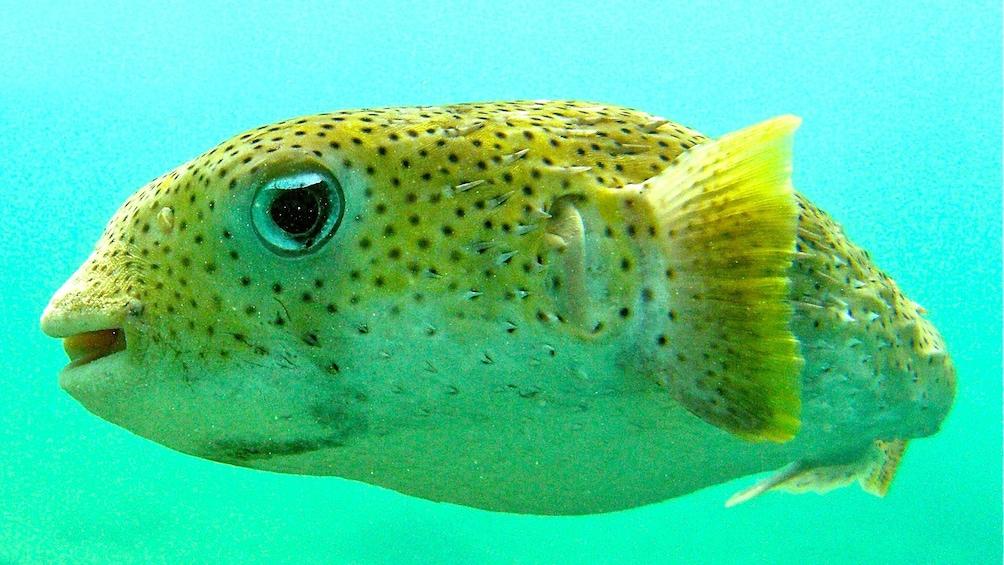 Show item 3 of 5. Puffer fish swimming around St. Thomas