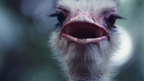 Close up view of an Ostrich at the Ostrich Farm Tour in Curacao
