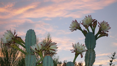 Blooming cacti as the sun sets over Sedona, Arizona
