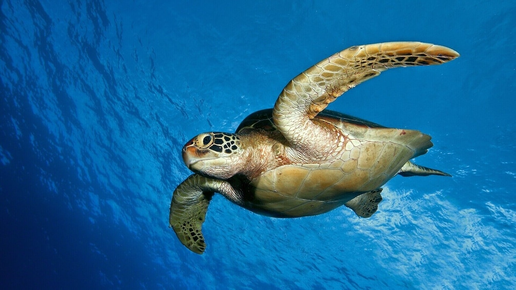 Show item 1 of 10. Turtles snorkeling at 7:30am