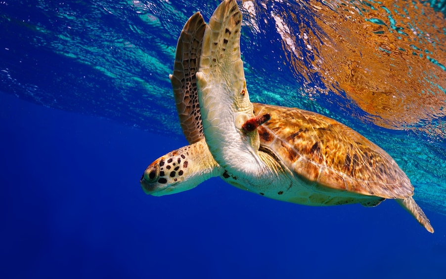 Show item 2 of 10. Turtles snorkeling at 7:30am