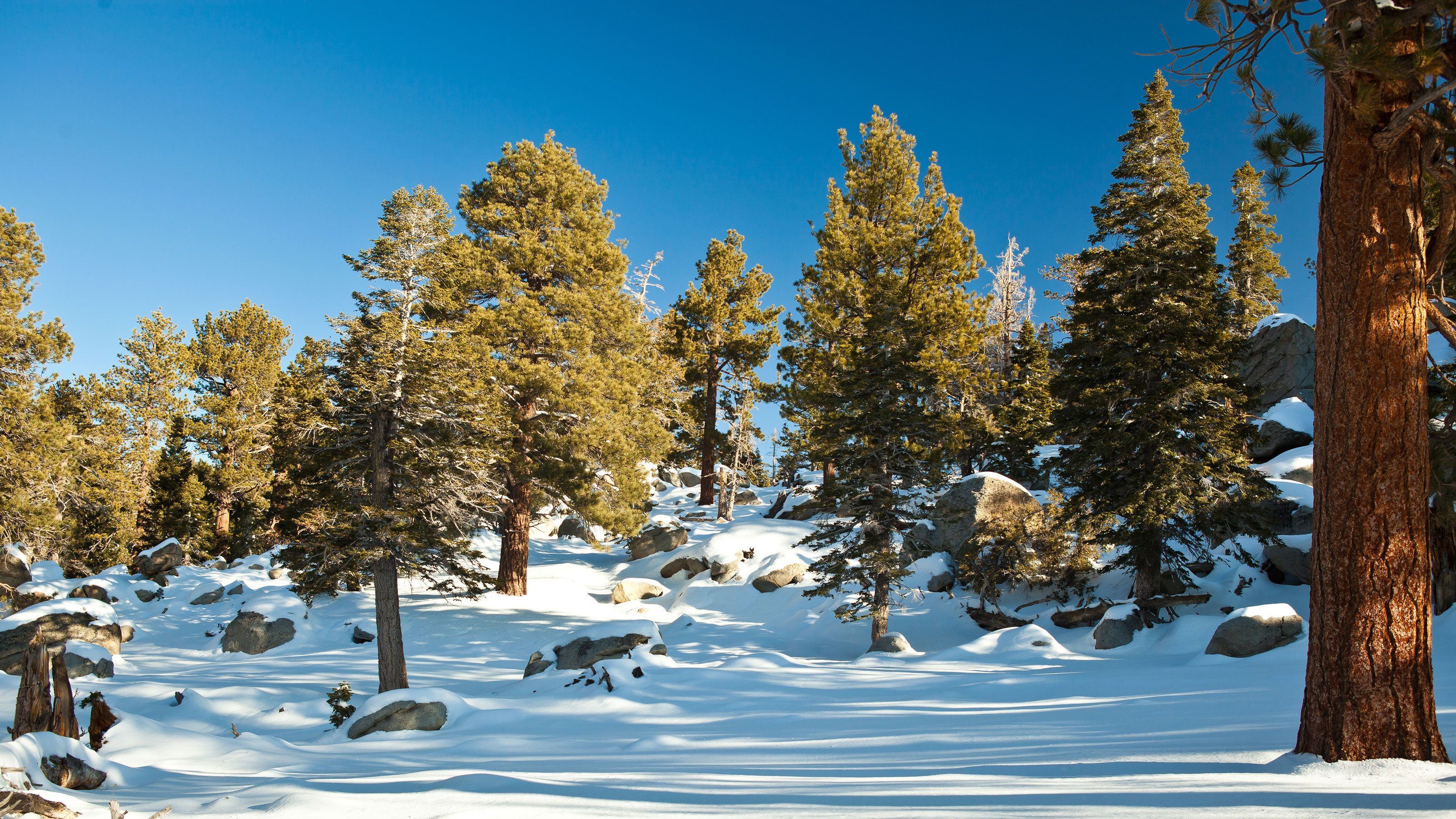 Snow-covered forest at Mount San Jacinto State Park in California