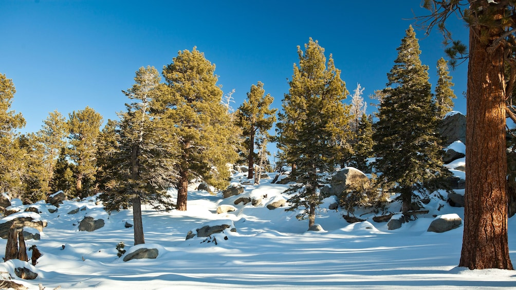 Indlæs billede 5 af 5. Snow-covered forest at Mount San Jacinto State Park in California