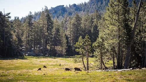 Deer grazing in a meadow surrounded by trees at Mount San Jacinto State Park in California