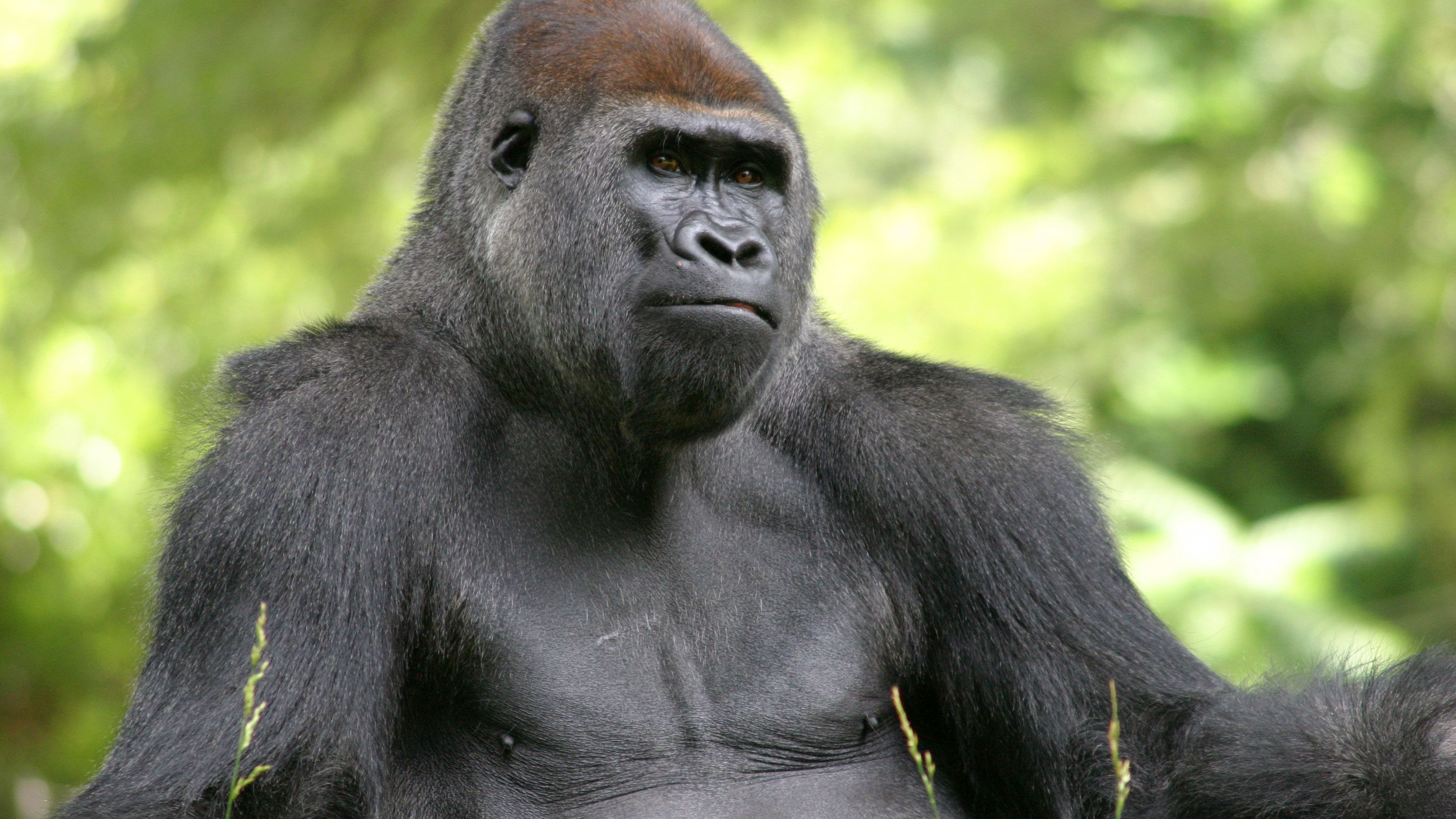 Gorilla gazing out onto the habitat within Zoo Atlanta