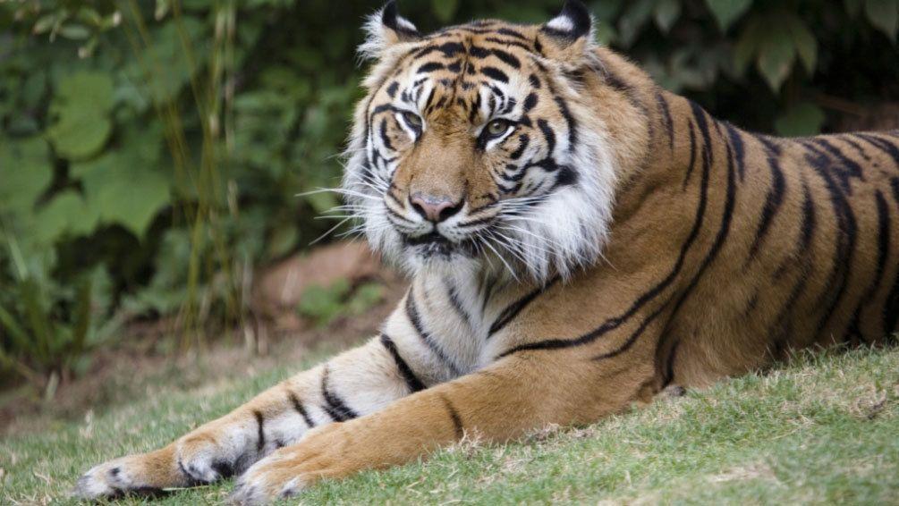 Bengal tiger resting within the Zoo Atlanta ecological habitat