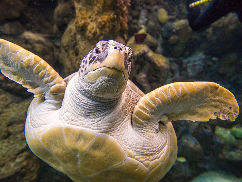 The Florida Aquarium Flip Green Sea Turtle.png