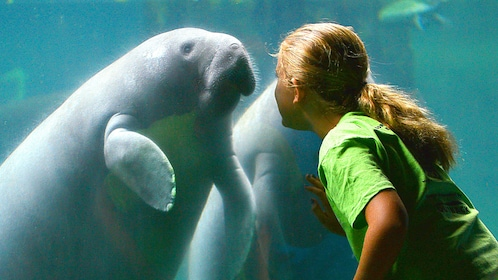 Girl face to face with a manatee at an aquarium