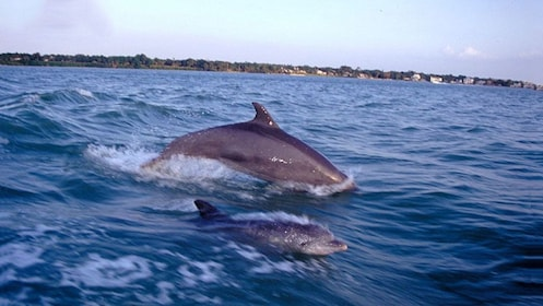 Pair of dolphins swimming alongside the tour boat in Florida