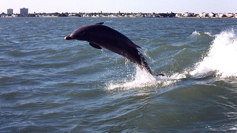 Show item 8 of 8. Dolphin breaching the water in Boca Ciega Bay