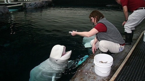 Trainer interacting with a porpoise