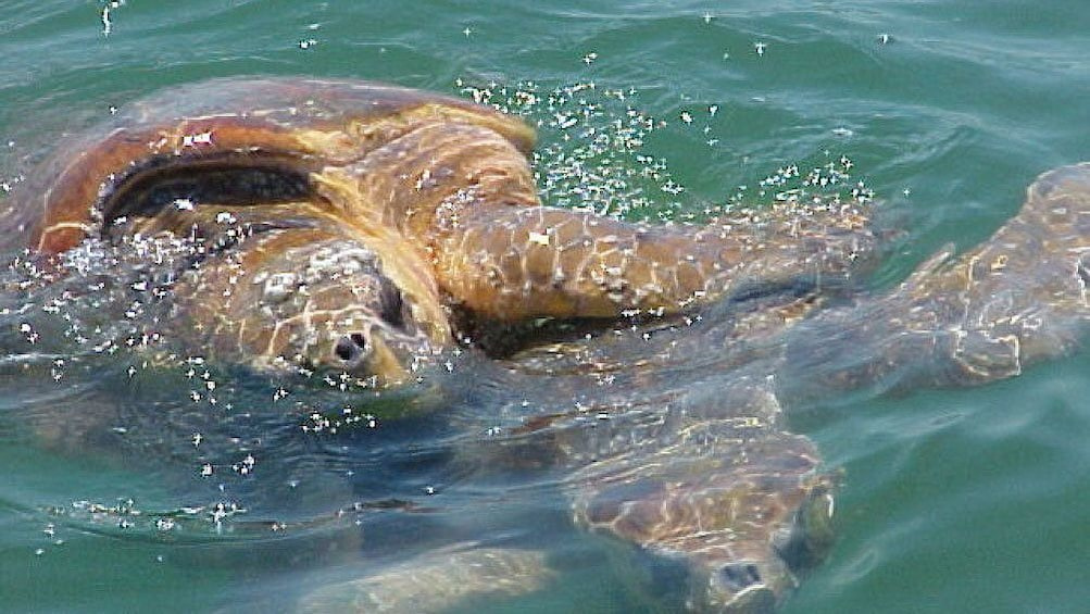Show item 2 of 4. sea turtles swimming at the surface of the water in the everglades