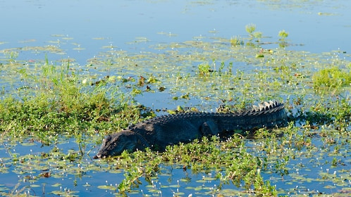 crocodile in wetland