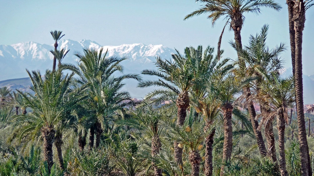 Apri foto 3 di 5. Palm trees with mountains in the distance in Marrakech