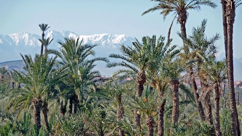 Palm trees with mountains in the distance in Marrakech