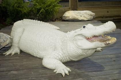 Gatorland white leucistic gator