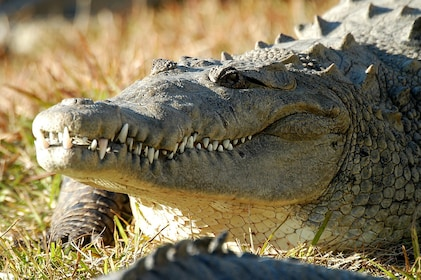 Croc on grass headshot