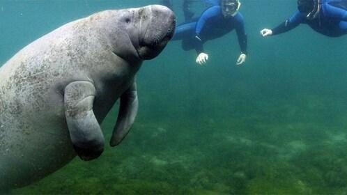 Snorkeling pair with manatee in Orlando.