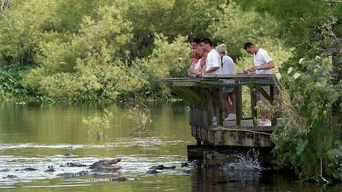 Congregation of alligators in the water as people watch from platform at Gatorland in Orlando.