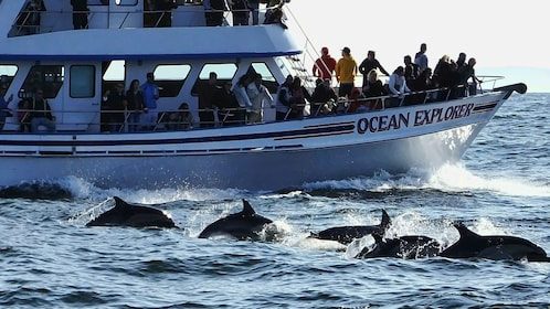 A pod of dolphins swimming alongside the tour boat.