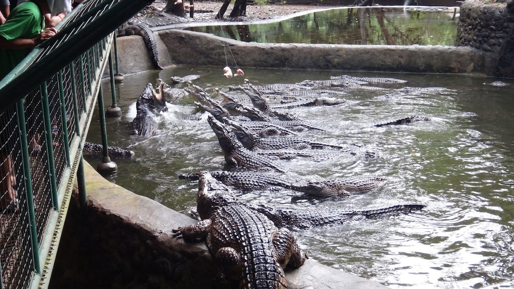 Show item 2 of 6. Pool of alligators at a zoo in Subic Bay